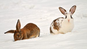 Two rabbits in the snow
